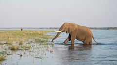 River crossing (Tris Enticknap) Tags: africanelephant zambia elephant lowerzambezi africa loxodontaafricana