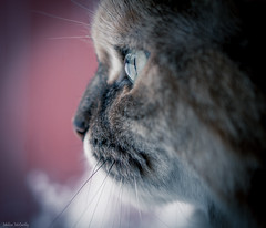 Birdwatching (Melissa M McCarthy) Tags: bella cat kitty pet portrait face side profile closeup macro eye pupil cute senior rescue dilute tortie canon7dmarkii sigms105mmmacro