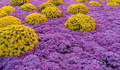 Blütentraum 8 (KaAuenwasser) Tags: chrysanthemen blumen blüten pflanzen blütentraum bunt lahr gestaltung gelb pink ngc flowersadminfave