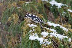 Woodpecker (matthewthecoolguy) Tags: woodpecker green brown pine white snow bird nature wisconsin sony sonyalpha