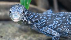 Blue Tree Monitor (PMillera4) Tags: blue monitor bluetreemonitor lizard reptile bronx zoo bronxzoo