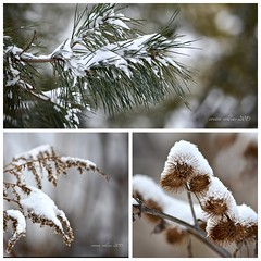 jan 18 it's snowing (Basildon Kitchens) Tags: princeedwardcounty winter nature snowing pine goldenrod burrdock newsnow