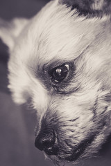 Yorkie Close and personal 2 (ekto.r) Tags: yorkie canon dog canine portrait black white 90mm tamron macro dslr love