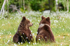 Two young bears in the middle of flowers (Jekurantodistaja) Tags: evening finnish scandinavia ursusarctos animal bear blossom brownbear cute finland flora flower furry grass grizzlybear july mammal nature outdoors predator sitting resting summer summertime suomi swamp ursa wildlife large brown creature danger dangerous europe european young nordic fauna scandinavian strong ursus friend companion siblings friends friendship eriophorum cottongrass cottonsedge bloom plant two bears companionship fellowship camaraderie goodtimes valentinesday love valentine ystävyys partners cub pup karhu pretty медведь oso urso ours björn orso 熊 곰 miś