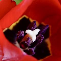 ich mag Tulpen ... (1) (urmeline) Tags: tulpen blumen frühling