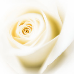 Ivory rose (stoneleighboy) Tags: flowers nature colour soft macro delicate petals