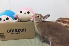 Ichigo san 1500 (Errai 21) Tags: いちごさん ichigo san  ichigo rabbit bunny cute netherlanddwarf pet ウサギ うさぎ いちご ネザーランドドワーフ ペット 小動物 1500