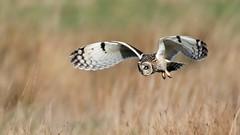 Short-eared Owl (Explore) (NickWakeling) Tags: shortearedowl uptonfen norfolk canoneos7dmarkii sigma150600mmf563dgoshsmcontemporary