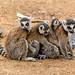 Ring-tailed Lemur (Lemur catta) enjoying a group cwtch