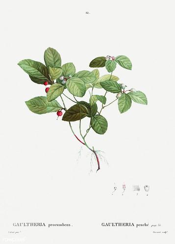American Wintergreen plant
