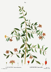 Goji berry branch (Free Public Domain Illustrations by rawpixel) Tags: pierre redoute redouté antique art arts artwork botanical botany branch cc0 creativecommons0 drawing element engraved engraving environment fineart flora floral flower goji gojiberry graphite historic historical history illustrated illustration ink lanceolatum leaf lycium lyciumlanceolatum lyciumlanceolè nature painting pencil pierrejoseph pierrejosephredouté plant publicdomain retro sketch sketching traitédesarbresetarbustes tropical vintage