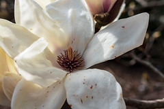 magnolia cylindrica (valerie something or other) Tags: raleigh winter flower white magnolia arboretum