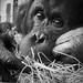 Sad orangutan in captivity