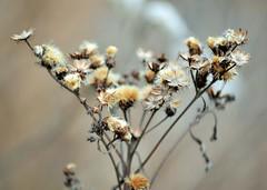 Winter Blossom (KaDeWeGirl) Tags: pennsylvania centre county state college arboretum dried dead flowers