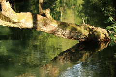 An der Blau (gripspix) Tags: 20160916 blaubeuren blautopf blau badenwürttemberg germany deutschland reflections reflexionen spiegelung watersurface wasseroberfläche log stamm fluss bach river creek