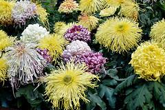 Chrysanthemums (chooyutshing) Tags: flower chrysanthemum display dahliadreams floraldisplay flowerdome gardensbythebay baysouth marinabay singapore