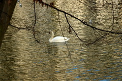 Swan in Leopold Park (riccardolongo1) Tags: swan lake beauty shader water light evening afternoon outdoor park belgium bruxelles world europe