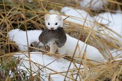 Long-tailed weasel (Mustela frenata) with Meadow vole (rangerbatt) Tags: nikon sigma150600mmsports weaselwithprey longtailedweasel mustelafrenata weasel ermine weaselwithmeadowvole utahwildlife wildutah greatsaltlakewetlands d7500 bird macro sand snow animal food