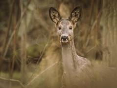 sarna (jarek.pretorius) Tags: sarna roe deer roedeer wildlife nature