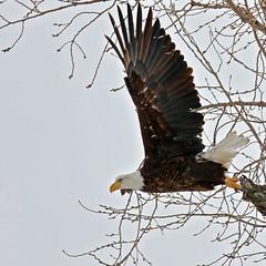 Bald Eagle tree launch_64 (Scott_Knight) Tags: eagle bald minnesota canon scott knight wings flight feathers nature wildlife raptor tree
