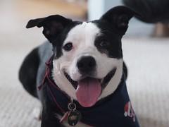 (hkalo) Tags: dog pitbull pet