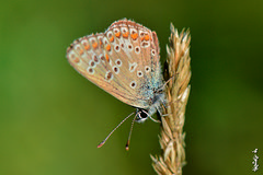 Common Blue Butterfly... (N.Batkhurel) Tags: season summer forest animals insects bulgan butterfly closeup mongolia macro ngc nikon nikondf natur nikkor 105mm