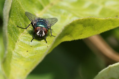 Fly (siamesepuppy) Tags: fly insect insecto insecte macro bug arthropod arthropoda invertebrate canon7dmkii 100mm entomology california ccattributionlicense creativecommons cclicense momsgarden