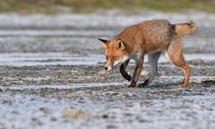 "Red Fox - ""Bob-Tail"" (KHR Images) Tags: redfox red fox vulpesvulpes wild mammal cambridgeshire fens wildlife nature nikon d500 kevinrobson khrimages"