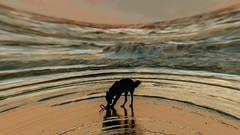 der Hund am Strand (wb.fotografie) Tags: nordholland nordsee strand wasser hund spielen