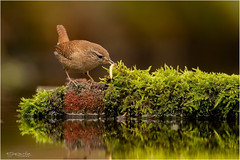 Wren eating a mealworm (Gertj123) Tags: netherlands water birds bokeh animal avian ornithology birdwatching nature wildlife arjantroost spring canon hide holterberg stone moss