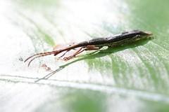 Cat Tien Brentidae (?) (Phil Arachno) Tags: vietnam nationalpark cat tien brentidae coleoptera insecta arthropoda curculionoidea