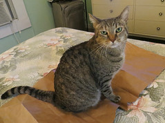 Key West Trip, December 1 to 11, 2018 1568Ri (edgarandron - Busy!) Tags: keywest cat cats kitty kitties tabby tabbies cute feline coco