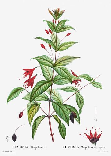 Hummingbird fuchsia (Fuchsia magellanica) illustration from Trai