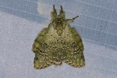 Benbowia virescens (creaturesnapper) Tags: notodontidae moths lepidoptera malaysia asia frasershill stephensplace benbowiavirescens nationalmothweek