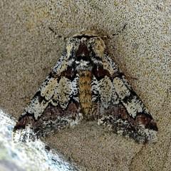 Oak Beauty ... Biston strataria (AndyorDij) Tags: oakbeauty bistonstrataria geometridae lepidoptera andrewdejardin nationalmothweek england empingham empinghammoths uk unitedkingdom rutland insect moth