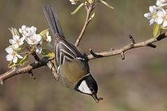 Caccia grossa (Marcello Giardinazzo) Tags: parusmajor avifauna natura wild cinciallegra bird uccelli