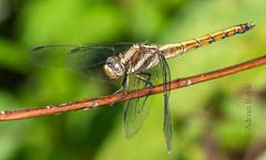 DSC_5159 (Adrian Royle) Tags: malaysia tamannegara travel holiday nature wildlife insect odonata dragonfly darter macro nikon