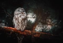 Oh Wise One! (Samantha Nicol Art Photography) Tags: owl bird asleep portrait samantha nicol art