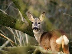 Capriolo ♀ (ddgp) Tags: caproleuscaproleus roedeer nature bosco wildlife