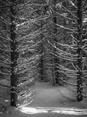 Frisson_1030088 (RiendH2O) Tags: hiver winter îleverte québec arbre tree neige snow forêt woods