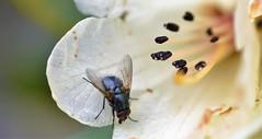 a blue fly on a Rhododendron flower. (conall..) Tags: blue fly nikon afs nikkor f18g lens 50mm prime primelens nikonafsnikkorf18g closeup raynox dcr250 macro rowallane national trust saintfield walled garden northernireland bluebottle rhododendron flower basking resting