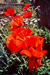 Oriental poppies (johnlauper) Tags: flowers poppies orientalpoppy garden beachgarden blooms