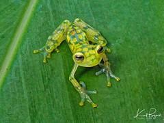 Reticulated or La Palma Glass Frog (Hyalinobatrachium valerioi). Frog's Heaven, Costa Rica (Travel to Eat) Tags: tiny green glassfrog costarica amphibian frog