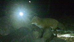 Flash (blazer8696) Tags: 2019 brookfield ct connecticut ecw obtusehill stumptrailrock t2019 usa unitedstates vulpesvulpes camera fox game red redfox trail trap vulpes imag0434 rock sitting sittingrock