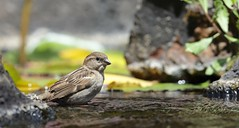1DX13691 Must be viewed Large. House Sparrow. Kaanapali, Maui. Hawaii (E.W. Smit Wildlife.) Tags: gitzo gitzotripod g1325mk2 gitzog1325mk2 gitzog1325mk2tripod wimberley wimberleygimbalheadwh200 wimberleygimbalhead wimberleywh200 gimbalhead ef500mmf4lisii ef500mmf4lisiiusm canonef500mmf4lisiiusm wildanimals tourist tourists telephotolens tripod unitedstatesofamerica usa outdoors outdoor supertelephotolens island bird birds ocean pacificocean animal avian animals wildanimal hawaii mauihawaii maui mauimarriottsoceanclub canon nature wildlife housesparrow sparrow kaanapali kaanapalimaui canoneos1dx 1dx canon1dx canonef500mmf4lisii canonef14xextenderiii canonef14xiii eos1dx canonef500mmf4lisiiusm14xiii canonef500mmf4lisii14xiii ef500mmf4lisii14xiii ef500mmf4lisiiusm14xiii 14xiii kaanapalimauihawaii canonef14xextenderii