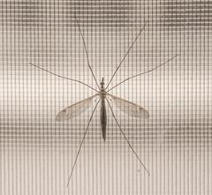 Bug on my Screen (david55king) Tags: israel haifa haruvstreet balcony david55king ישראל חיפה רחובחרוב bug mosquito insect