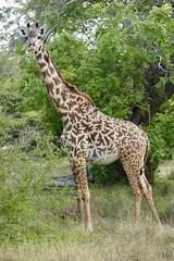 Masai Giraffe (rob kite) Tags: selous tanzania giraffe