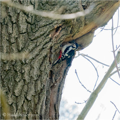 Great Spotted Woodpecker ♀ (Huddsbirder) Tags: huddsbirder a6500 sony fe70300mm woodpecker greatspotted work