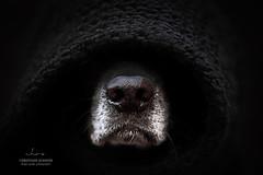 Snout (Christiane Schäfer) Tags: dog hund photography labrador dogphotographer black white schwarz weis nase snout schnauze littledoglaughednoiret