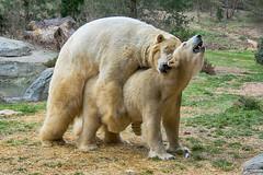 Oh baby! (ucumari photography) Tags: ucumariphotography polarbear ursusmaritimus oso bear animal mammal nc north carolina zoo osopolar ourspolaire oursblanc eisbär ísbjörn orsopolare полярныймедведь anana nikita march 2019 dsc9116 specanimal